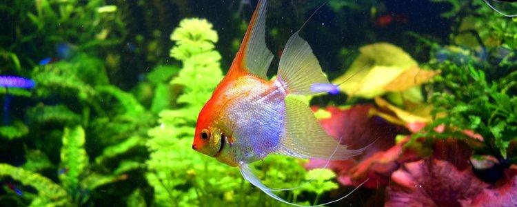 Es aconsejable introducir plantas en el acuario para que el pez esté como en su habitat
