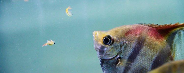 El pez Ángel es omnívoro y se alimenta de otros peces pequeños