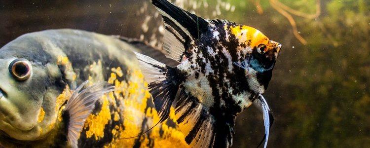 Pez Ángel en convivencia con otros peces
