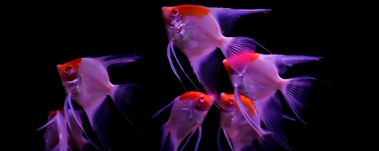 Es mejor que el pez Ángel conviva en grupo para que no se vuelva agresivo