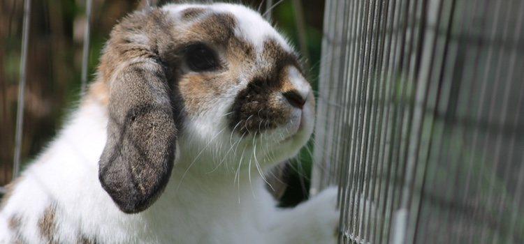 Debes hacer limpiezas generales para que todo se quede perfecto para tu conejo