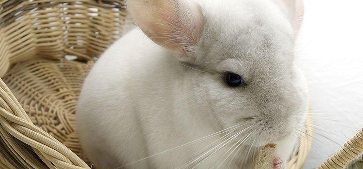 Las chinchillas son unos animales muy suaves por la cantidad de pelaje que tienen