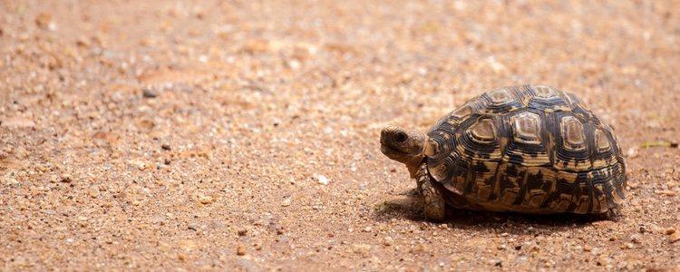 Los cuidados de tortuga de tierra se basan en su adaptación al clima y su alimentación