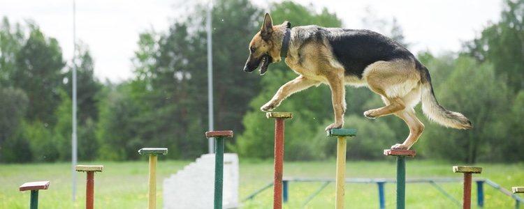 Los etólogos son a los perros lo que los psicólogos a los humanos