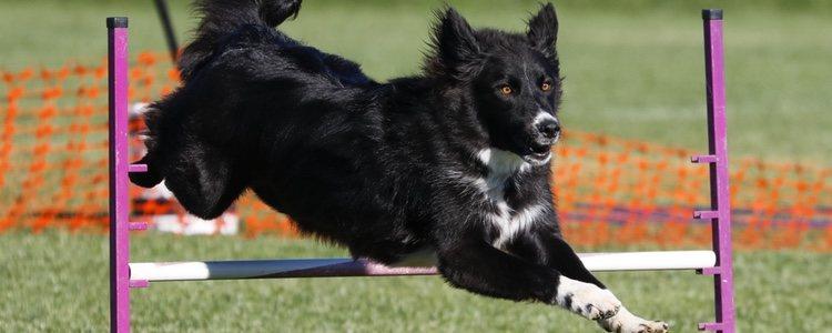 No es lo mismo querer enseñar a nuestro perro una disciplina deportiva que una educativa