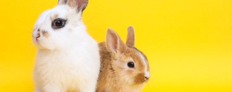 Los conejos no tienen una temporada específica de celo