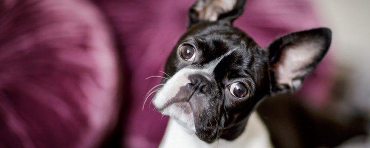 Los características físicas son las causantes de este síndrome en los perros