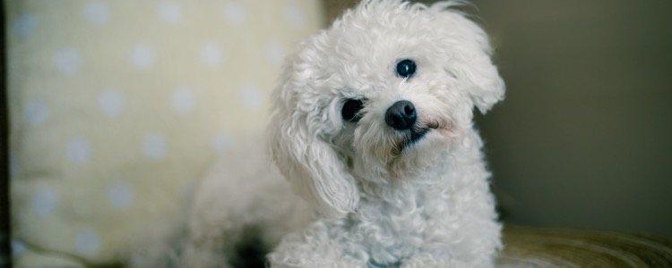 Dependiendo del espacio del que dispongas, podrás optar por perros de mayor o menor tamaño