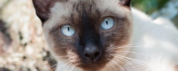 Sus grandes ojos azules es una de las características de este gato