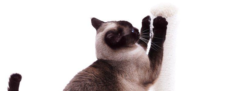 Es una raza de gato que le gusta mucho jugar