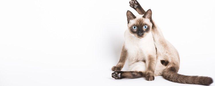 Esta raza de felino es muy activa sexualmente