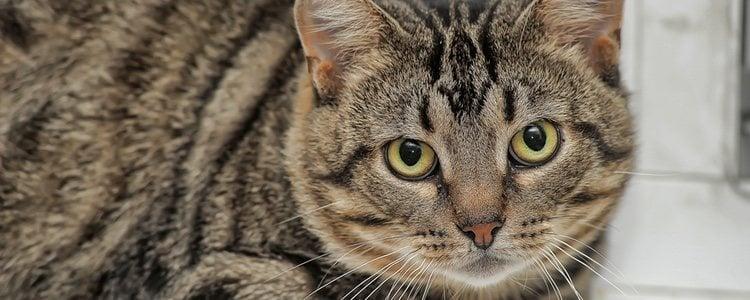 Este felino también es conocido por el nombre de gato romano