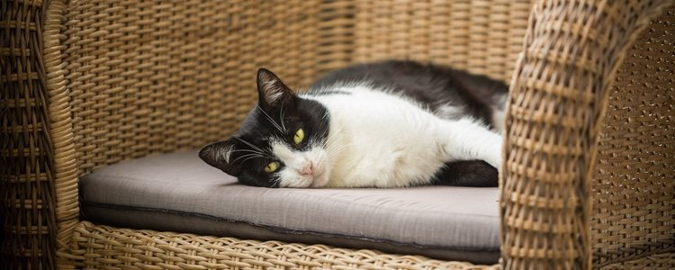 El gato común europeo puede alcanzar los 20 años de edad