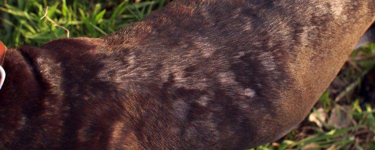 En algunas épocas del año el pelo de muchos perros se cae más de la cuenta