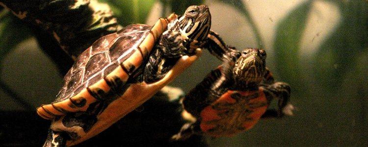 La tortuga como tal también requiere una limpieza, sobre todo su caparazón