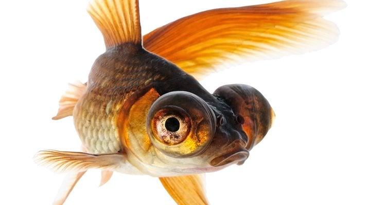El pez telescopio se caracteriza por tener los ojos saltones