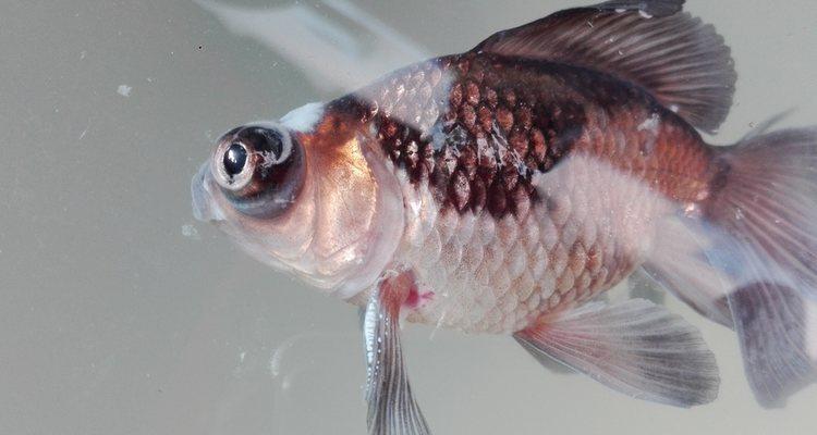 Podemos encontrar este pez con distintas pigmentaciones