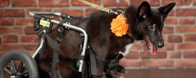 Existen sillas de ruedas para perros que alivian el dolor de la artrosis