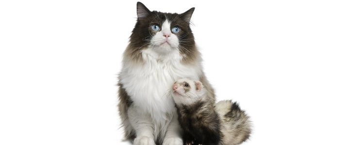 La alimentación de los hurones es similar a la de los gatos