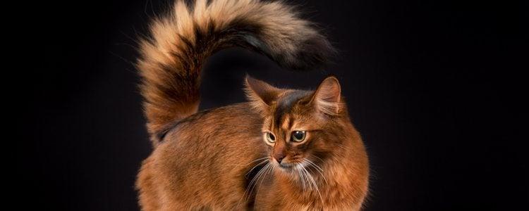 Del gato somalí destaca su precioso pelaje