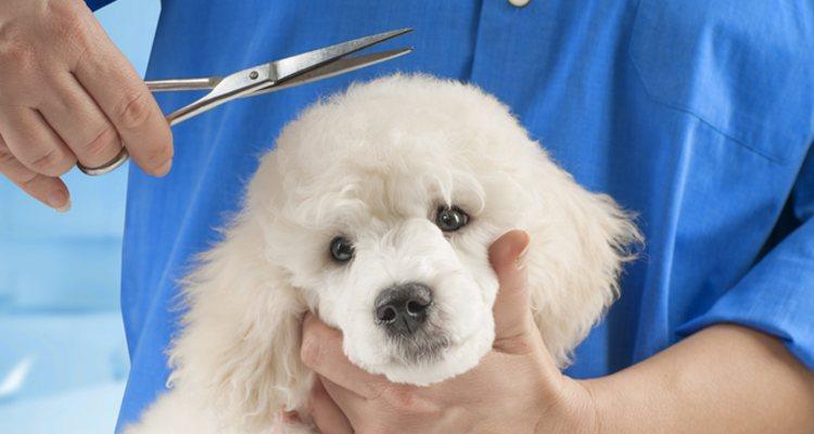 Tipos De Caniche Diferentes Tamanos Y Caracteristicas Bekia Mascotas