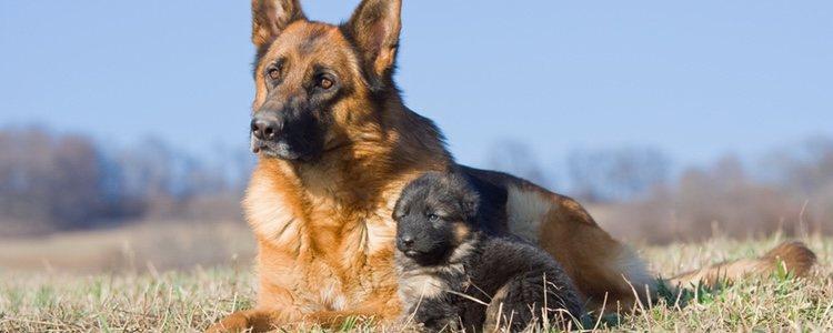 Se trata de una de las razas de perro más extendida en el mundo