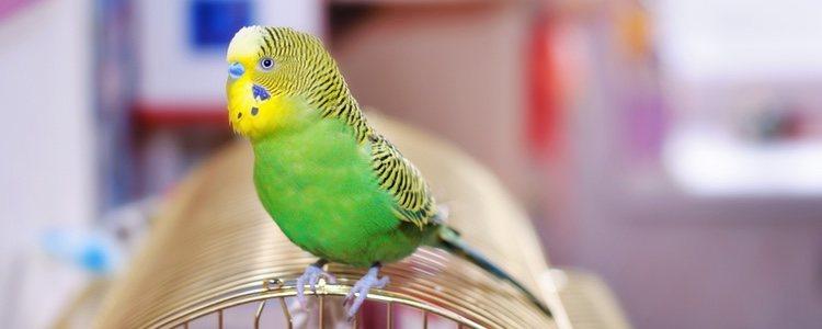Al vivir dentro de su jaula, los pájaros son perfectos para apartamentos o casas pequeñas