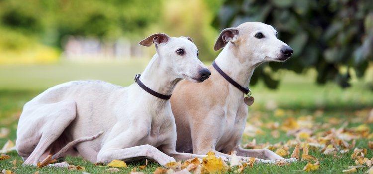 El galgo y el podenco son los perros más infravalorados en España