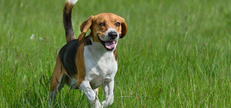 El beagle es un perro muy activo, es importante que haga ejercicio diario