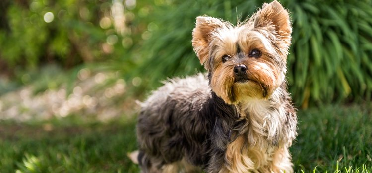 El Yorkshire es la raza preferida a la hora de elegir un perro pequeño