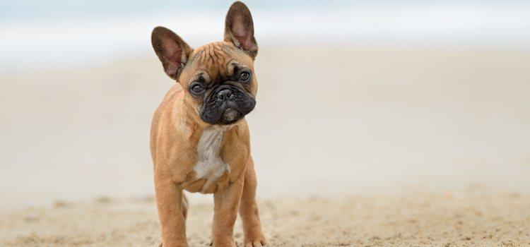 Aunque se parece al Bulldog inglés, se diferencian en el tamaño, éste es bastante más pequeño