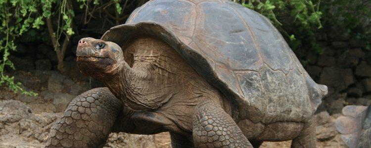 Las tortugas de las Galápagos son uno de los animales más longevos de la Tierra