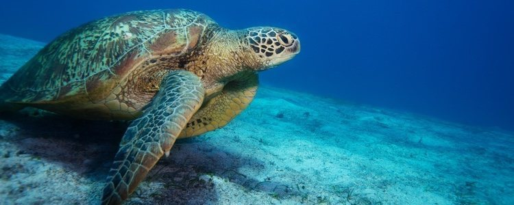 Las tortugas marinas son menos longevas que las de tierra