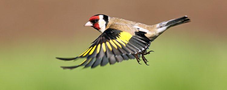 Los jilgueros gustan mucho de volar libremente