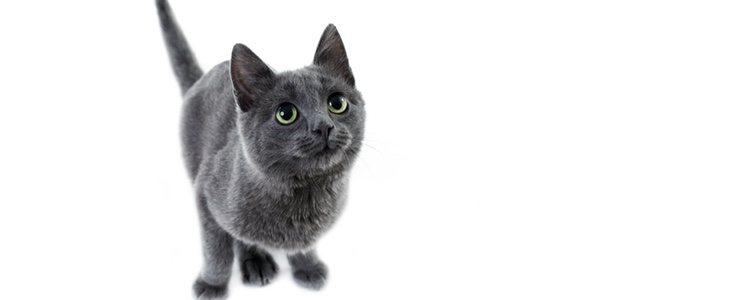 En función de la raza de gato que se escoja el carácter del animal puede variar