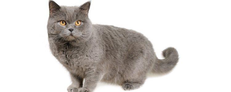 El pelaje de color grisáceo es uno de los rasgos más característicos de los Rusos Azules