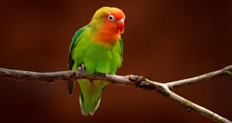 El agaporni es el ave doméstica más sociable