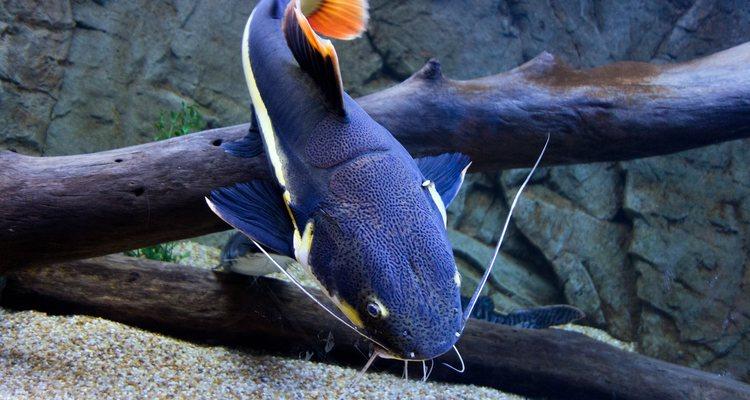 Suelen pasar la mayor parte del tiempo en el fondo del acuario
