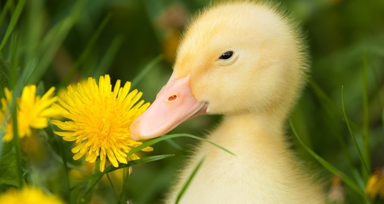 Los patos son animales muy sociables a los que les gusta la compañía