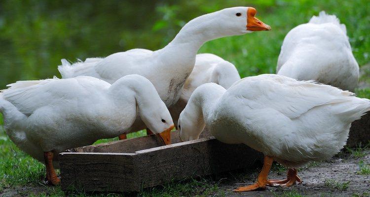 La alimentación es fundamental en la salud de los patos