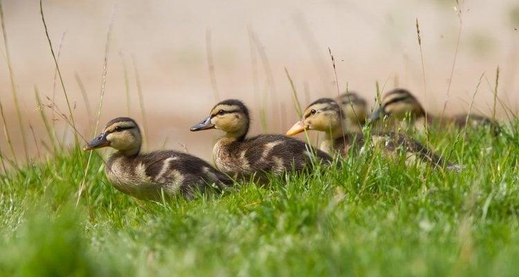 El hogar de los patos es fundamental, así como estar en libertad
