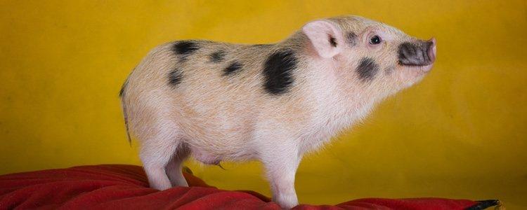 Debes tener mucho cuidado al adquirir un mini pig y asegurarte de que no tienen ninguna enfermedad