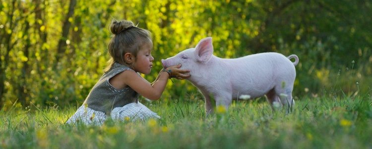 Los mini pig son muy cariñosos y rápidamente establecen vínculos afectivos