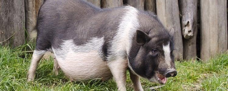 Los cerdos, al igual que los humanos, son animales vivíparos