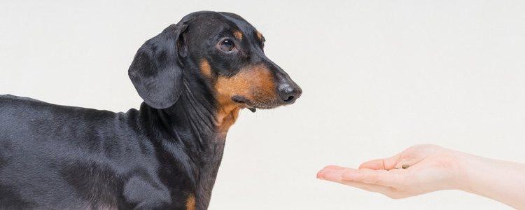 Al tratarse de un perro de caza, los Teckel precisan de un adiestramiento específico