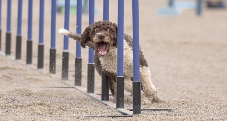 Son perros muy ágiles y necesitan hacer deporte todos los días
