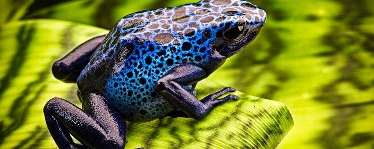 A pesar de su indudable belleza la rana azul es una especia venenosa