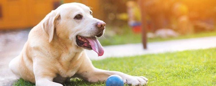 Un perro con anemia tendrá la lengua y las encías más blancas de lo normal