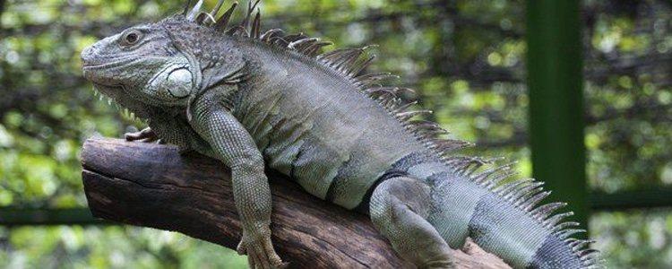 La iguana es un animal que vive en los árboles