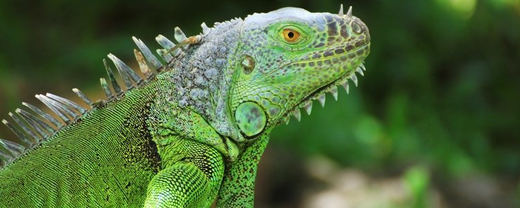 La iguana verde es el mejor tipo de iguana para tener como mascota